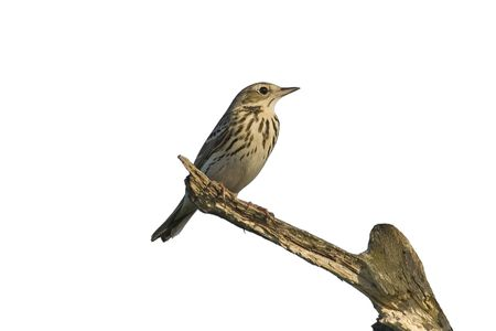 The tree pipit sitting on the branch
