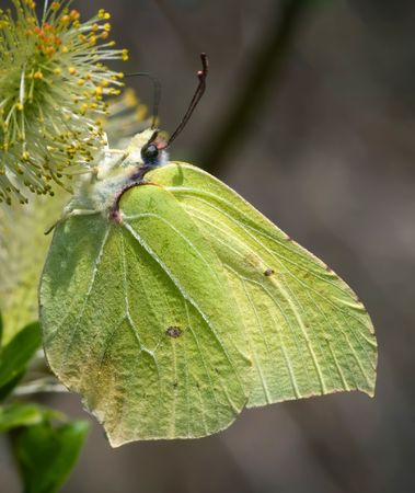 Brimstone butterfly sitting on the willow flower Stock Photo - 7881481
