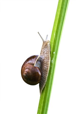 cochlea: The edible snail Helix pomatia crawling on the stem