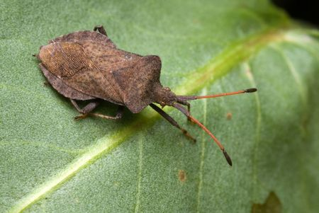 Coreus marginatus bug sitting on the leaf