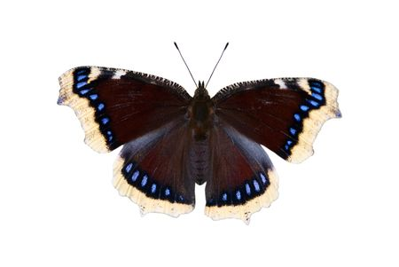 The mourning-cloak butterfly on a white background