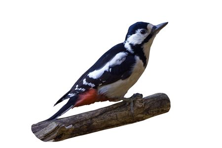 The greater spotted woodpecker sitting on the branch