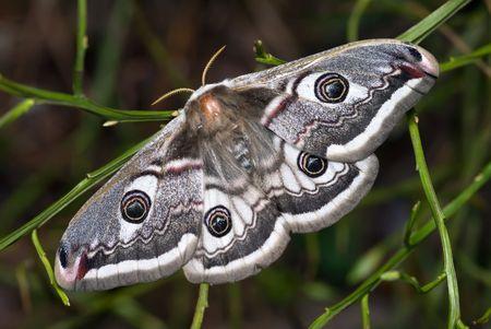 Die Peacock Moth sitzen auf der Pflanze