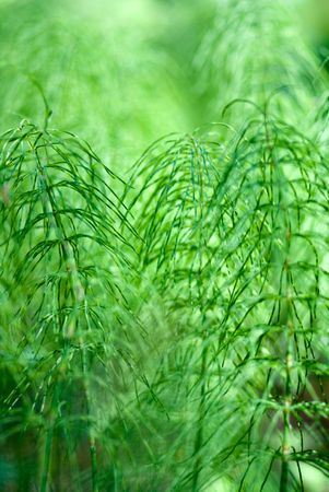 The green background of the horse-tail plants Stock Photo