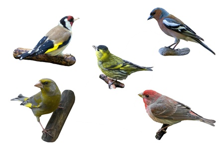 The five finches over the white background