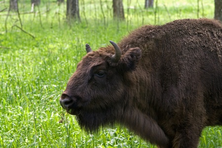 The european bison in a nursery, Russia Stock Photo