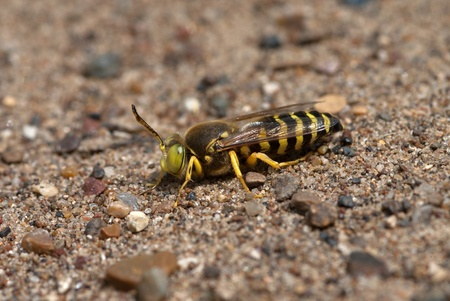 The sand wasp Bembex rostratus sitting on a ground Stock Photo