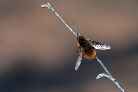 The big bee-fly sitting on a twig