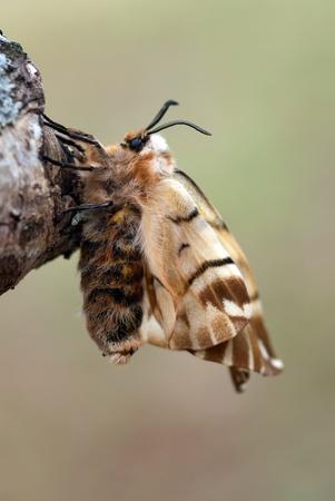 The female of Endromis versicolora silkworm moth Stock Photo