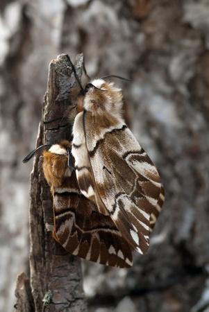 The coupling silkworm moths sitting on a birch branch