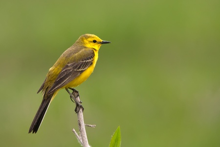 The yellow wagtail sitting on a herb photo