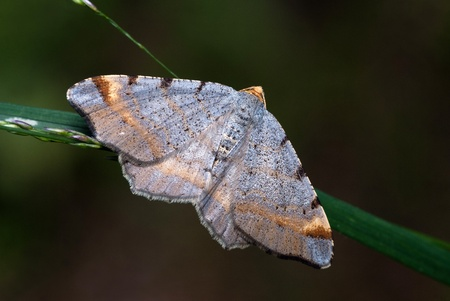 The geometrid moth Macaria liturata sitting on a blade