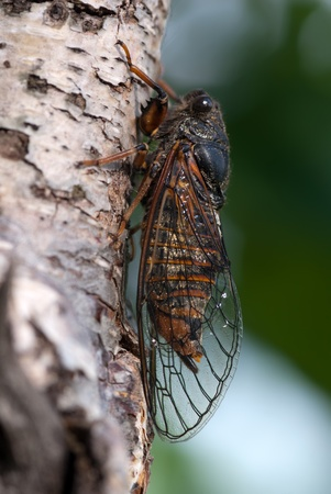The cicada sitting on a birch branch Stock Photo - 11808037