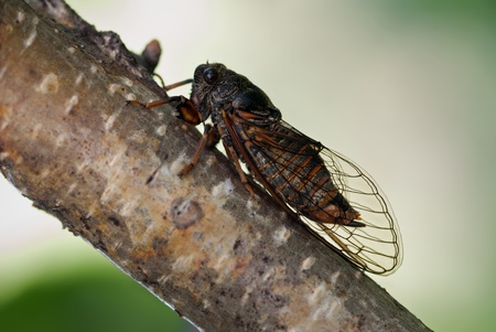 The cicada sitting on a birch branch