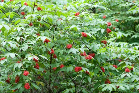 The Red Elderberry bush with ripe berries Stock Photo