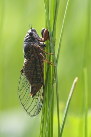The mountain cicada sitting on a grass