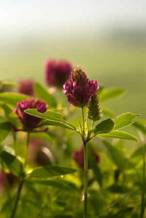 The blossoming red clover on a meadow Stock Photo