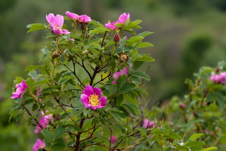 briar bush: The blossoming briar bush with pink flowers