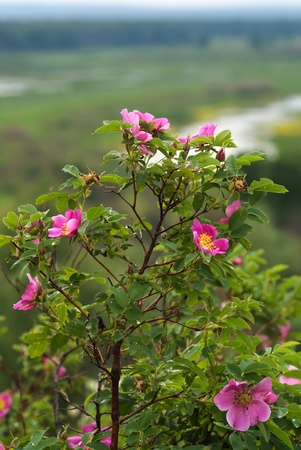 The blossoming briar bush with pink flowers