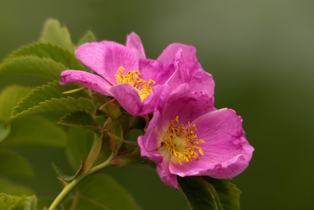 The blossoming briar bush with pink flowers photo