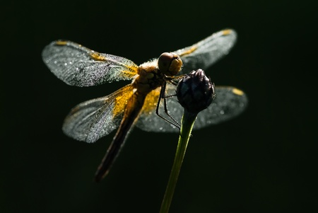 The dragonfly sitting on a knapweed stalk Stock Photo