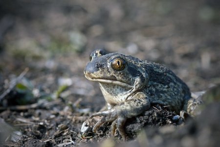 The spade footed toad sitting on the ground