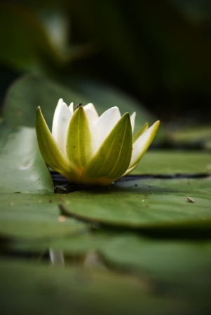 The single flower of white water lily