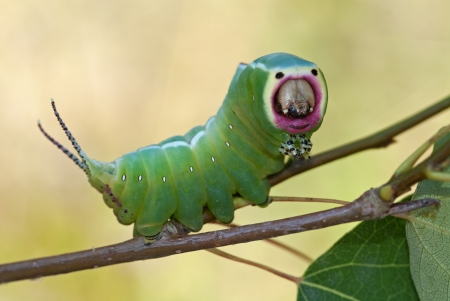 The notodontid moth caterpillar sitting on a branch Stock Photo