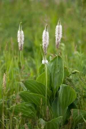 The plantain herb growing on a meadow Stock Photo