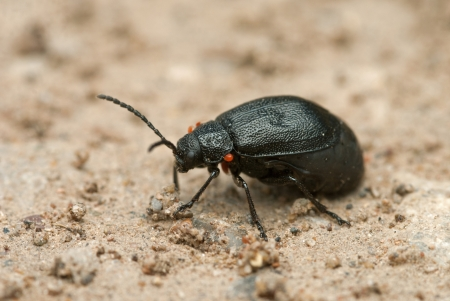 The black beetle crawling on the sand Stock Photo