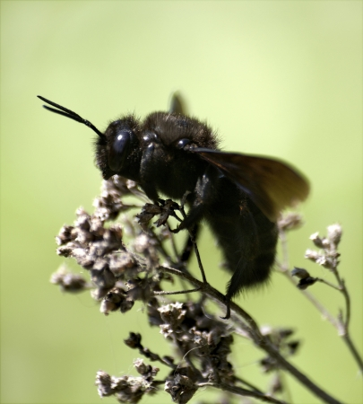 The carpenter bee sitting on a stem