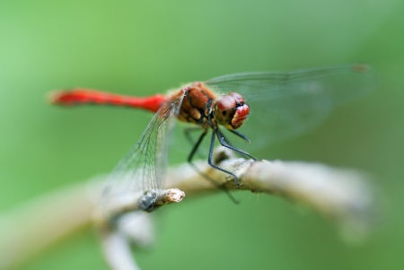 The dragonfly sitting on a dry stem