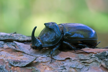 The rhinoceros beetle sitting on a beam