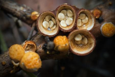 Crucibulum laeve growing on a pine branch