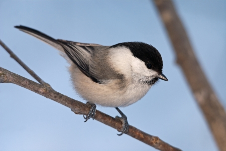 The willow tit sitting on the branch