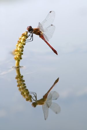 The red dragonfly sitting on a pondweed Stock Photo