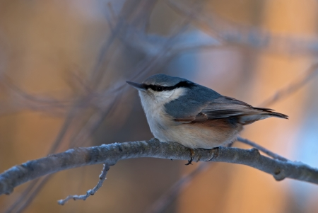 The grey nuthatch sitting on the branch Stock Photo