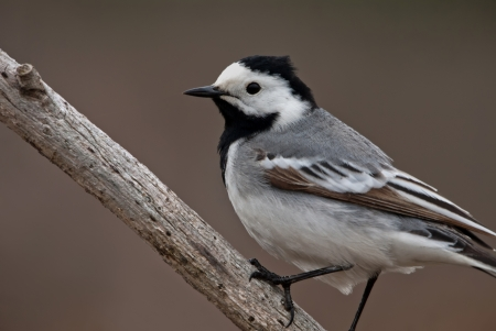 The white wagtail sitting on the branch