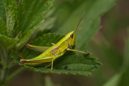 The small green grasshoper sitting on a leaf