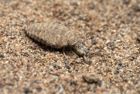 The ant lion larva on the sand