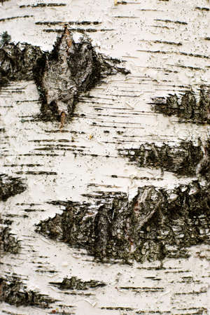 The high resolution image of birch