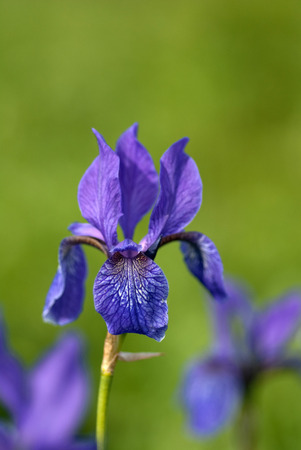 The blossoming wild iris on a green background