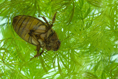The Yellow-margined diving beetle in the aquarium