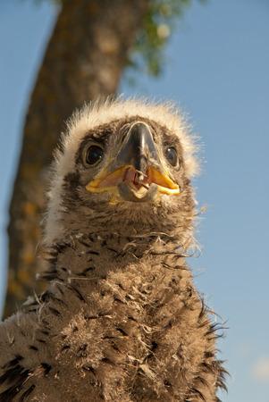 The eagle nestling sitting on the nest