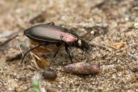 The beetle Poecilus cupreus crawling on a ground Stock Photo