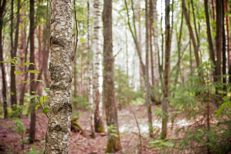 field depth: Summer mixed forest shallow depth of field Stock Photo