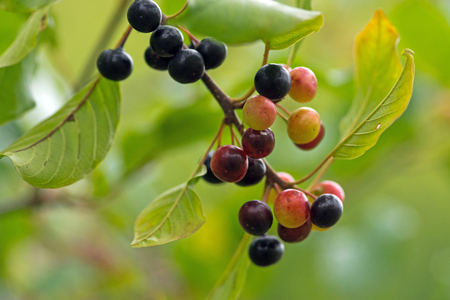 uncultivated: The alder buckthorn berries over green background