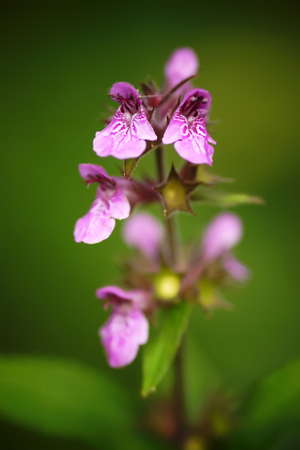 The purple blossoming stachys palustris on a green background Stock Photo