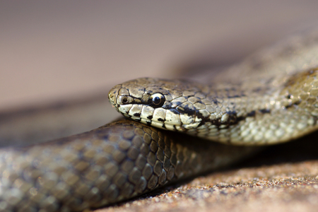 grass snake: The grey grass- snake close up shot