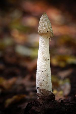 phallus: The inedible mushroom Phallus Impudicus